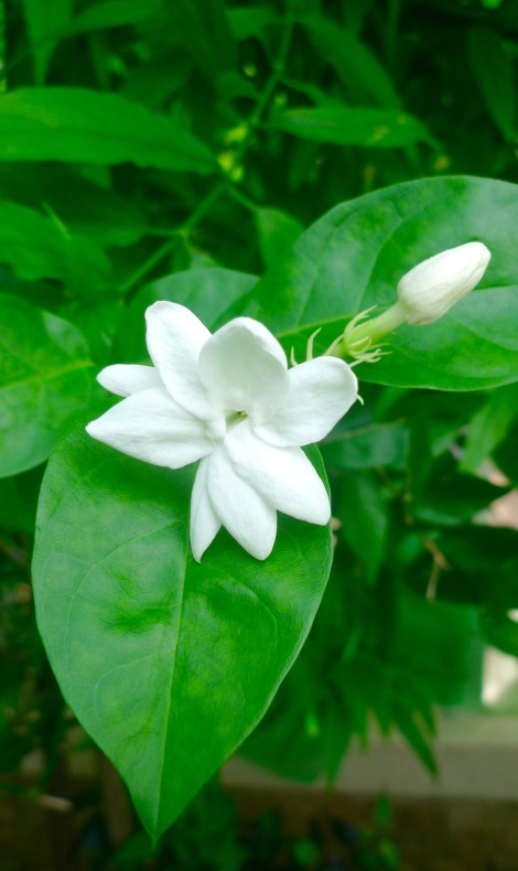 I growth this Jasmine flowers for a few years. However, its seldom blossom. After we tidy up the garden, perhaps its too happy with the new environment. Its non-stop blossom. First thing in the morning, I smell the fragrance of Jasmine flower. Life is beautiful!