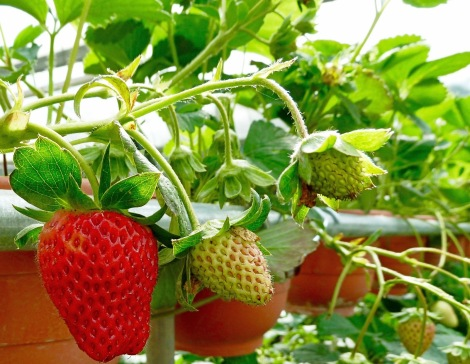 How beautiful is the strawberries! However, once you pressed, it gone....