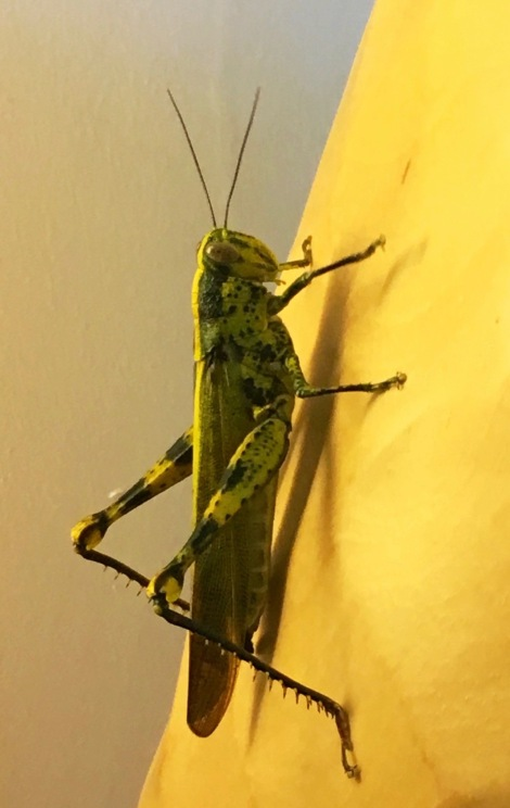 Do you see the beauty in this lovely grasshopper?