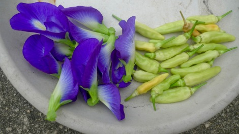 I enjoyed harvesting in my garden, the lovely blue pea flowers are high in anti-oxidant and we can use for cooking rice or baking. Green hot chilli, enhance the natural taste of food and no need to put any other flavouring!