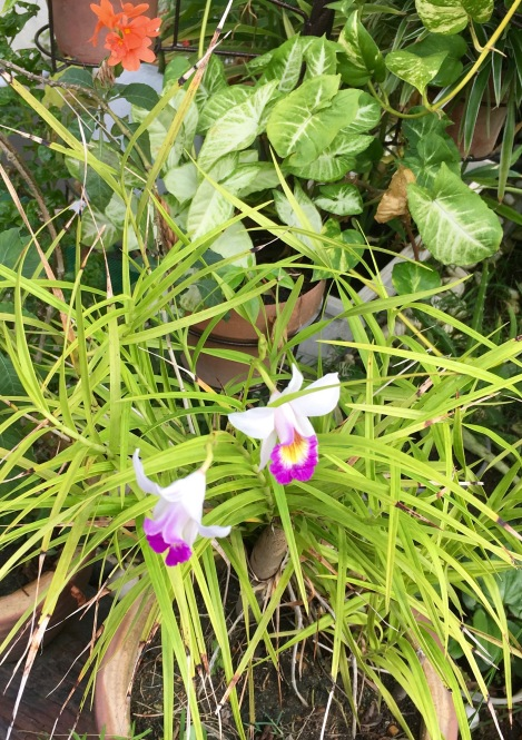 I've planted this plant for so long and so far, hardly any flower blossom. However, I never give up. Recently, the flower blossom beautifully. See, nature treat us so nice!