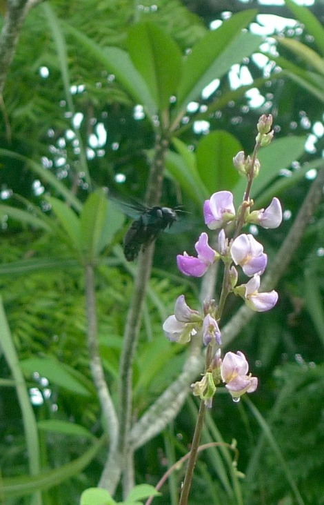 Do nothing! Just observe the carpenter bees working so hard to get food...