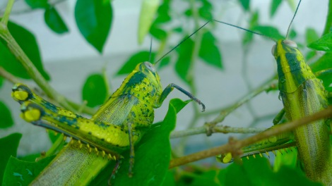 I'll definitely miss this beautiful grasshoppers in my garden if I am not mindful.