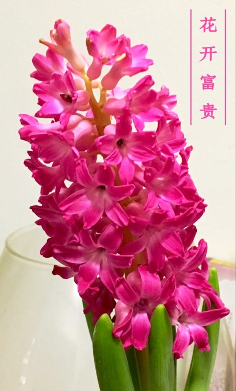 We bought this beautiful plant during Chinese New Year. So happened, it blossom well in the first day of Chinese New Year!